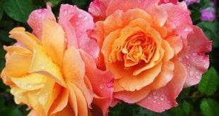 rose-174817
