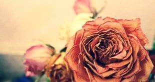 rose-975696